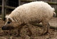 """Cristãos que se eram ovelhas de Deus, hoje são como """"porcos olhando para baixo"""""""